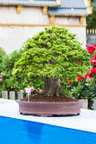 Little bonsai Royalty Free Stock Photography