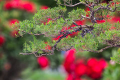 Little bonsai Royalty Free Stock Images