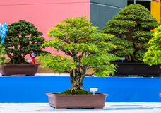 Little bonsai Stock Images