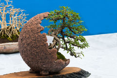 Little bonsai Stock Image