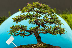 Little bonsai Royalty Free Stock Photo