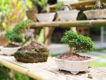 Little Bonsai in garden stock images