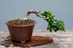 Little bonsai tree Stock Images