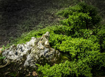 Little bonsai tree in exhibit Royalty Free Stock Images