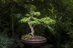 Little bonsai tree in exhibit royalty free stock photos