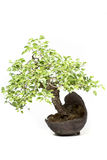 Little bonsai tree Royalty Free Stock Image