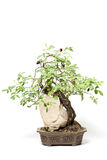 Little bonsai tree Stock Photos