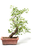 Little bonsai tree Stock Photography