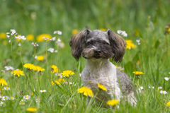 Little boomer dog with flowers. Little boomer dog in a flower field Stock Photos