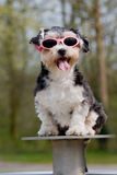 Little boomer dog wearing sunglasses Royalty Free Stock Photos