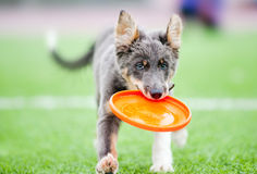 Little border collie puppy running. With Frisbee toy royalty free stock photography