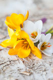 Little bouquet with fresh crocus Royalty Free Stock Photography