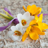 Little bouquet with fresh crocus Royalty Free Stock Image