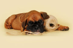 Little boxer puppy sleeping. On a yellow background with a ball of rope Stock Image