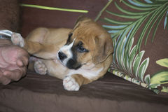 Little Boxer Puppy wants attention. Small Boxer Puppy getting attention Royalty Free Stock Photo