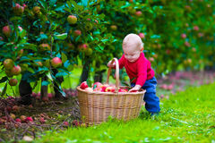 Little boy with apple basket on a farm Stock Images