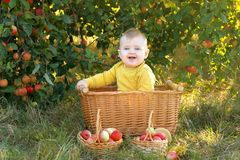 little boy in an apple orchard with a crop of apples Royalty Free Stock Photo