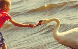 Little boy with beautiful swan. Stock Photos