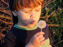 Little boy blowing dandelion. Little boy blowing dandelion in the rays of the setting sun Royalty Free Stock Photography