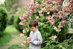 A little boy, and cherry blossoms Stock Image