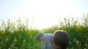Little boy collects flowering herb outdoors, child on meadow closeup pulls grass, beautiful kid walking on field in stock video