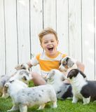 Little boy and corgi puppies stock photo