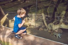 Little boy, cute toddler kid watching meerkats in the zoo. Child looking at animals in safari park.  royalty free stock photography