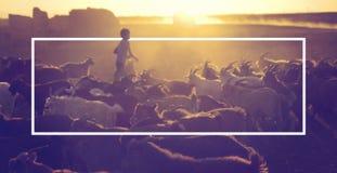 Little Boy, das Ziegen an der Dämmerung in Herden lebt Stockfotografie