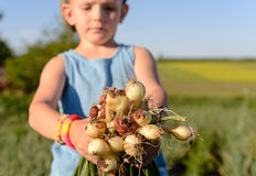 Little boy displaying a bunch of fresh onions Stock Photos