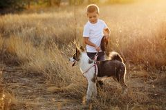 Little boy and dog. A little boy walks with a pet dog on a golden meadow. Pedigree dog Yakut Husky Royalty Free Stock Photos