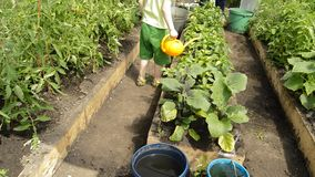 Little boy enthusiastically watering vegetable plants in the garden on a bed of orange watering cans on a Sunny summer. Day, the concept of education of stock video