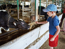 Little boy feeding calf with hay in farm Royalty Free Stock Image