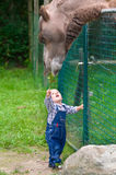 Little boy feeding a camel Stock Image
