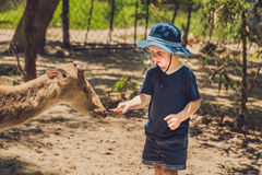Little boy feeding deer in farm. Closeup.  Stock Images