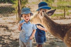 Little boy feeding deer in farm. Closeup.  Royalty Free Stock Image