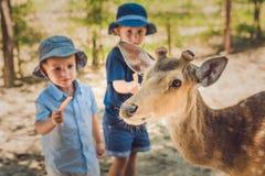 Little boy feeding deer in farm. Closeup.  Royalty Free Stock Images