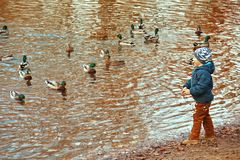 Little boy feeding ducks, standing at waters edge Royalty Free Stock Photos