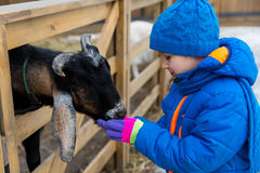 Little boy feeding goat at farm Stock Images
