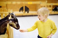 Little boy feeding goat at indoor petting zoo. Little boy feeding goat. Child at indoor petting zoo. Kid having fun in farm with animals Stock Image