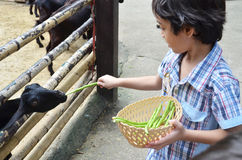 Little boy feeding little goat Stock Photo