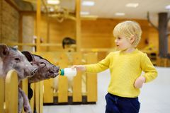 Little boy feeding pigs at indoor petting zoo stock image