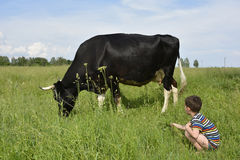 Little boy feeds the cow grass. Royalty Free Stock Image