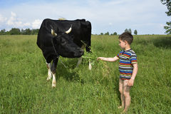 Little boy feeds the cow grass. Royalty Free Stock Images