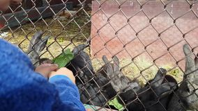Little boy feeds cute grey and black rabbits in cage green grass. Child laughing, happy. Summer time, outdoors stock video