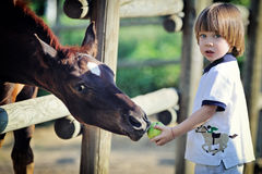 Little boy feeds horses with apple Stock Photography