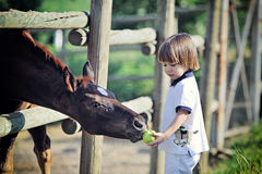 Little boy feeds horses with apple royalty free stock images