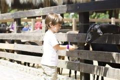 Little Boy feeds white goat Royalty Free Stock Photo