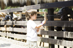 Little Boy feeds white goat Royalty Free Stock Photography