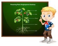 Little boy and flowering anatomy Stock Photo