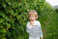 Little boy with fresh raspberries on organic self pick farm. Beautiful boy with raspberries on organic self pick farm in Germany Royalty Free Stock Photo